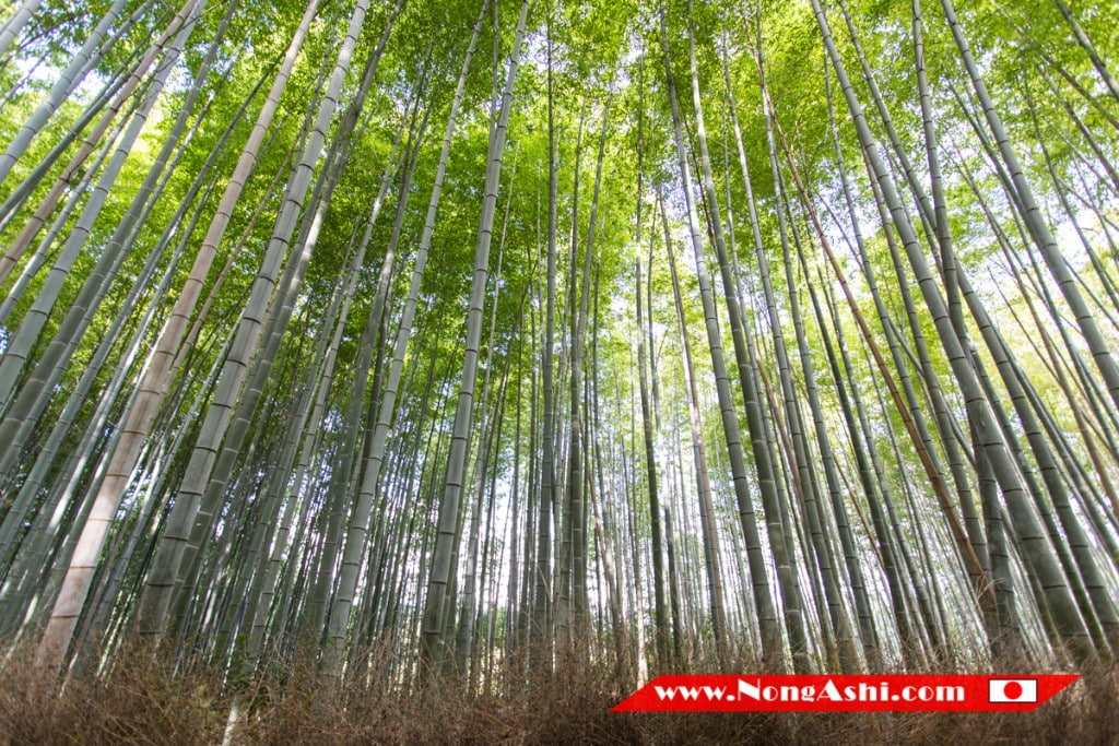Bamboo Forest - Bamboo Groves