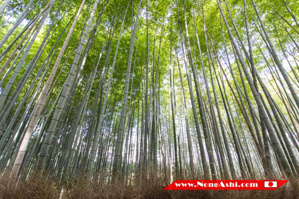 ป่าไผ่ – Bamboo Groves